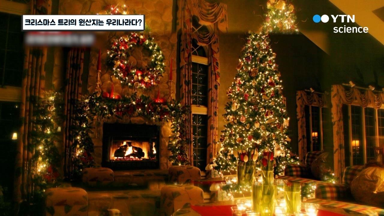 크리스마스 트리의 원산지는 우리나라다?