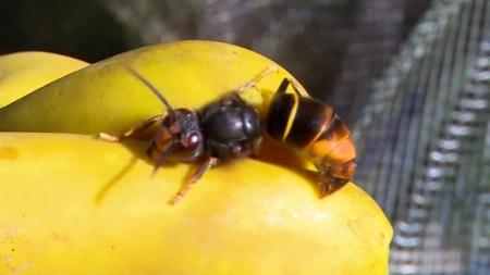 꿀벌을 잡아먹는 등검은말벌