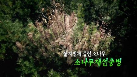 불치병에 걸린 소나무, 소나무재선충병