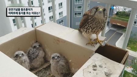 천연기념물 황조롱이가 아파트에 둥지를 트는 이유?