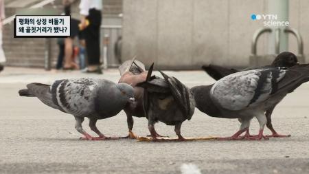 평화의 상징 비둘기 왜 골칫거리가 됐나?