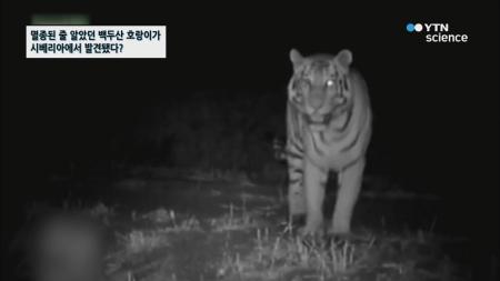 멸종된 줄 알았던 백두산 호랑이가 시베리아에서 발견됐다?