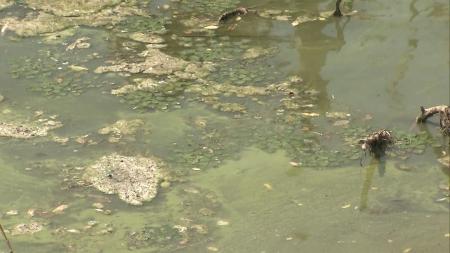 낙동강 녹조 다시 확산...수질예보 관심 발령