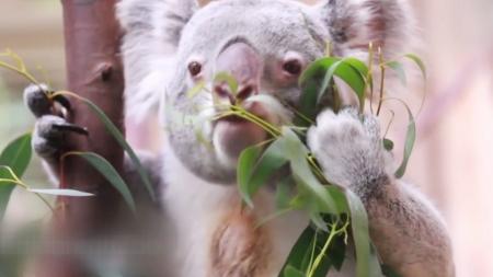 유칼립투스 마니아…호주의 마스코트 코알라