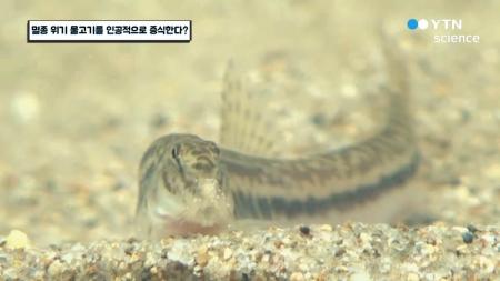 멸종 위기 물고기를 인공적으로 증식한다?