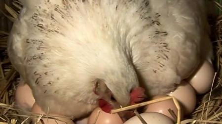 병아리용 달걀 낳는 닭에서도 살충제 초과 검출