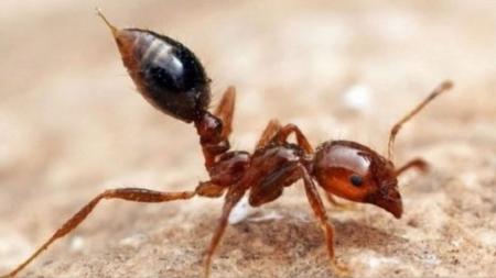 낯선 침입자 붉은 불개미…얼마나 위험할까?
