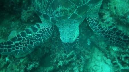 호주 대산호초 특정 거북 99.8%가 암컷...온난화 영향?
