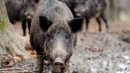 이제는 유해동물…인간과 함께 살아온 멧돼지