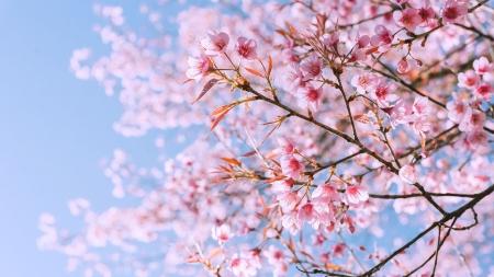 봄바람에 흩날리는 벚꽂잎…왜 사랑하고 싶게 할까?