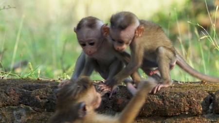 BBC특선_24/7와일드_3부 원숭이 이야기