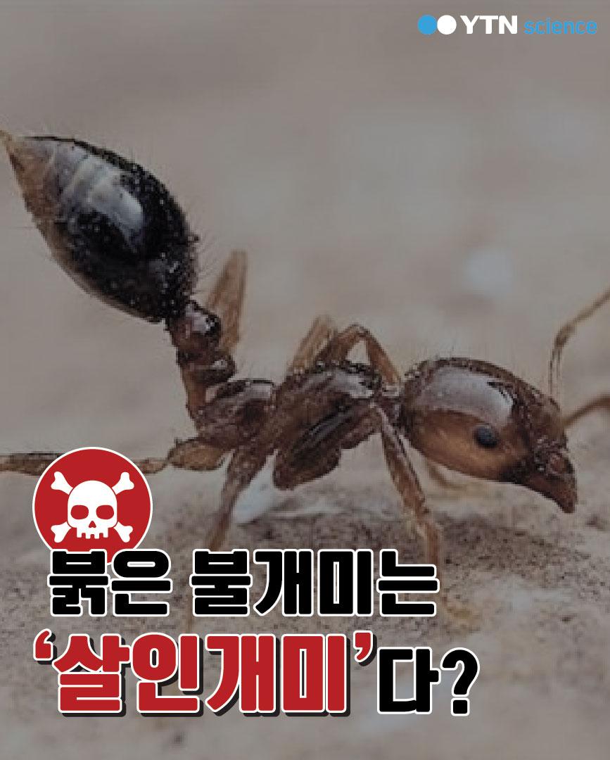 붉은불개미는 '살인개미'다? 이미지