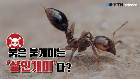 붉은불개미는 '살인개미'다?
