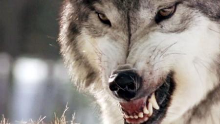 킬러의 본능_2부_사악한 본능의 야수 늑대